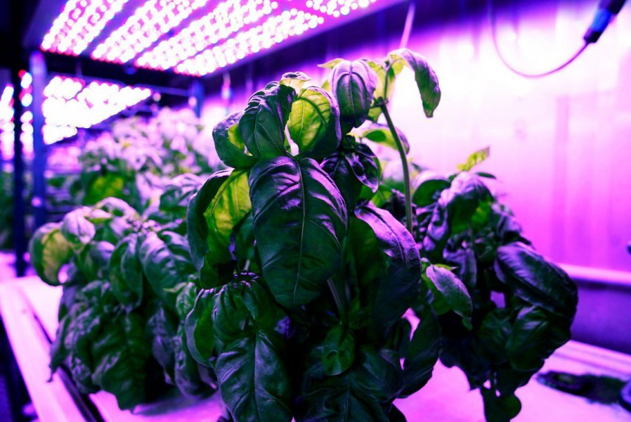 Basil plant in hydroponic growing lab.
