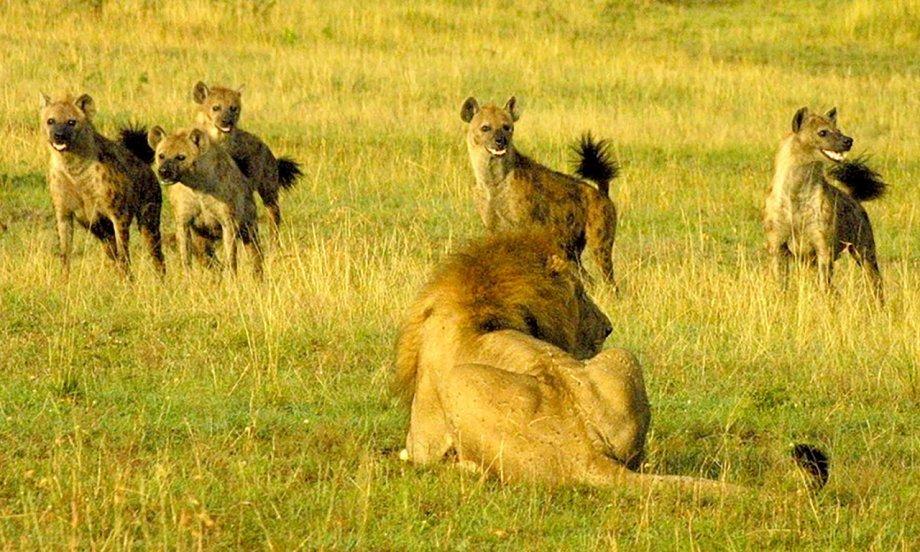 Hyenas mobbing a lion