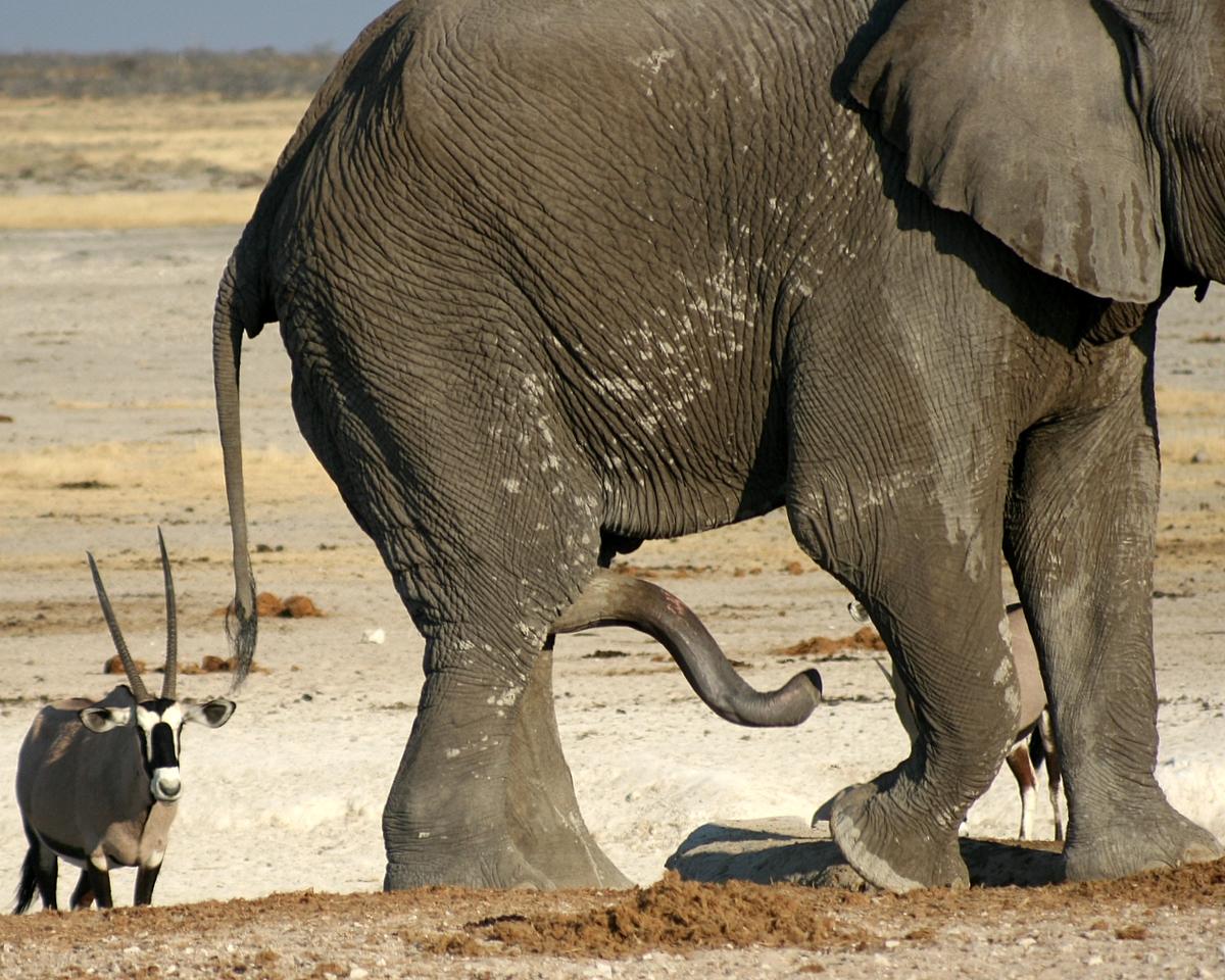 Смотреть хуй у слона 8 фотография